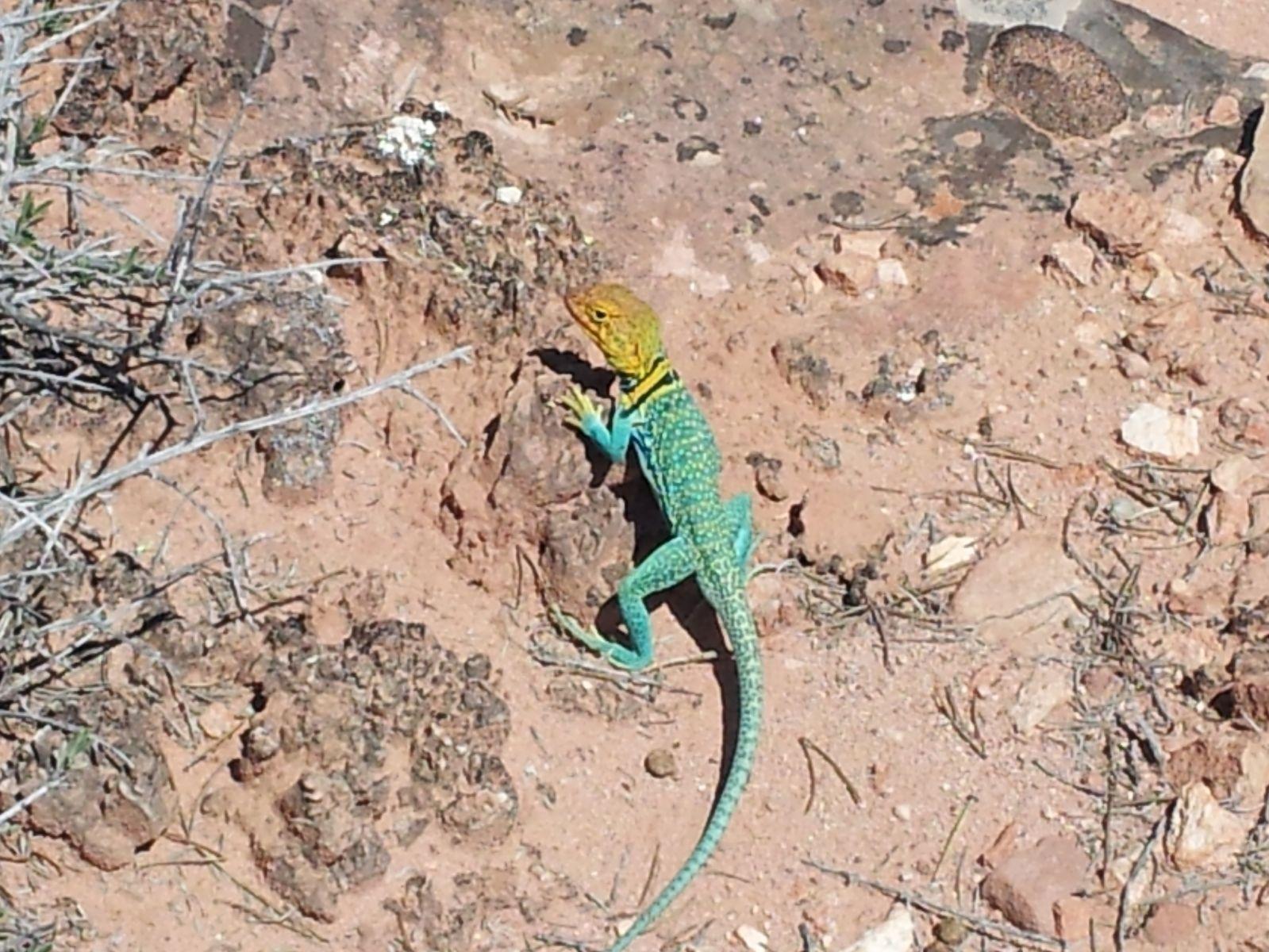 Colorful Lizard